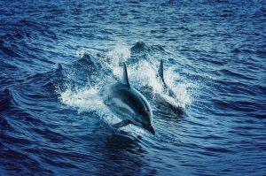 Дельфины выпрыгивают воды на фоне ярко-синих волн